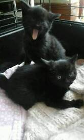 KITTIN FOR SALE picture to follow