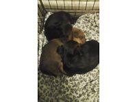 Jorkie puppies (Mini Yorkie X Jack Russell) 2 boys and 1 girl