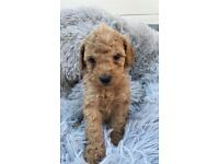 Health Tested KC Stunning Miniature Poodles