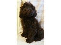 Cockerpoo Girl Puppy For Sale Ready Now Cockapoo Girl Puppy