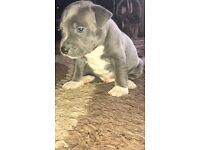 Gorgeous Blue Staffordshire Bullterrier Puppys for sale!