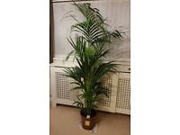 Large indoor palm