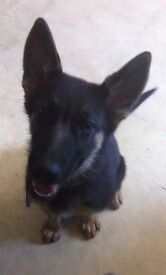 Beautiful Girl Garman Shepherd Pup 15 Weeks Old LOVING FAMILY ONLY