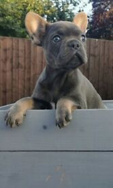 KC French bulldog girl