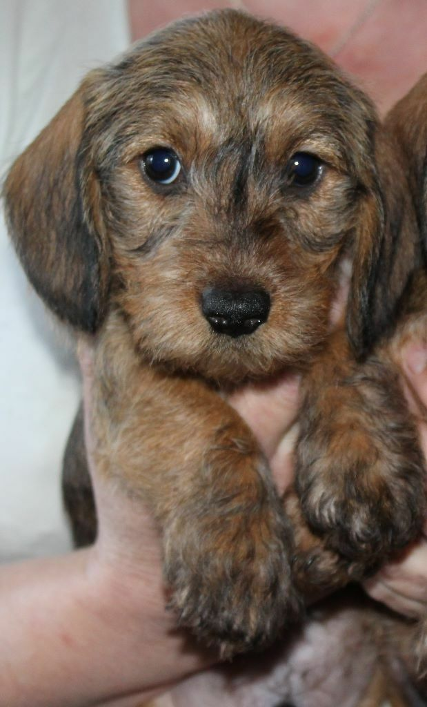 Miniature Wire Haired Dachshund Puppies | in Rainworth ...
