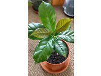 Houseplants - Indoor plants - young Coffee plant