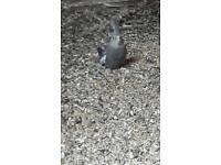Female cockatiel for sale 1 1-1 2weeks old