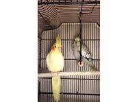 Two cockatiels must go together £50!!
