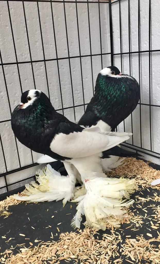 Pair of black Reversewing Pouter pigeons