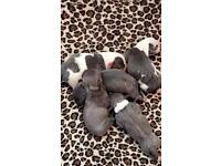 Outstanding blue valglo staffordshire bull terrier puppies