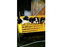 pups springer spaniel puppies ready to go
