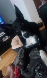BEAUTIFUL BORDER COLLIE FOR SALE