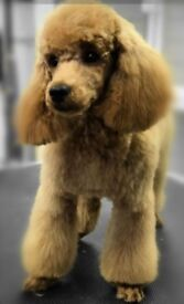 Non maulting ShihPoo puppies