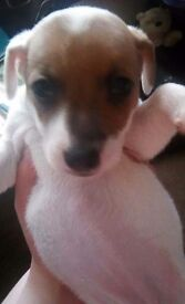 6 jack Russell puppies for sale