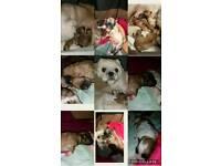 Shihtzu-bichon frise puppies