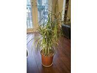 Plant - Dracaena Plant