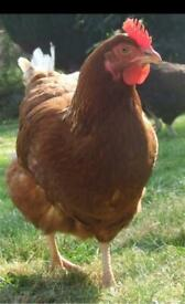 Point of lay pullets / hens