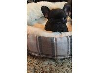 French bulldog pup male 10 wks