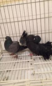 Pair of Fantail pigeons