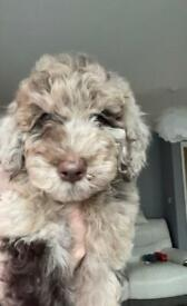 One beautiful Marble boy F1BB Miniature Labradoodle