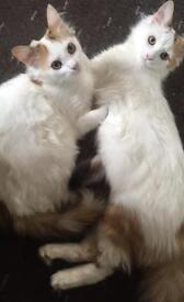 2 kittens for a loving home must go together *** 6months old***