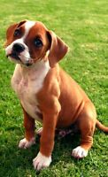 Boxer puppy or boxer adult