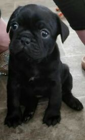 FRUG PUPPIE FOR SALE!