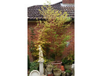 Large Acer Palmatum or Japanese Maple approx. 8ft high