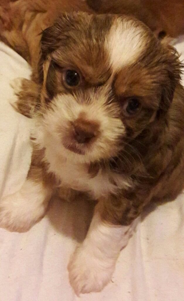 Shi Chi Puppies For Sale Shih Tzuchihuahua Mix 4 Girls Available In Abertillery Blaenau Gwent Gumtree