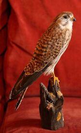 Taxidermy - female Kestrel