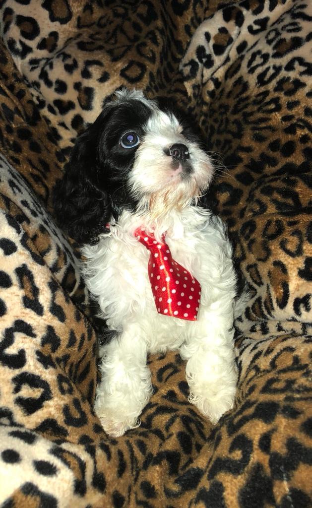 Stunning Male Cavapoo Puppies For Sale In Chislehurst London
