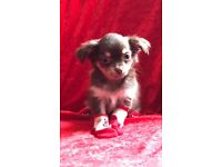 Tiny chihuahua longhair kc chocolate small dog puppies fluffy girl bitch puppy ready adorable kc