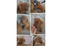 Dogue De Bordeaux Puppies Ready to leave Friday