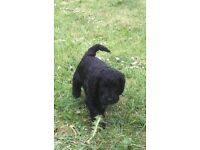 Cockerpoo puppies F1 for sale