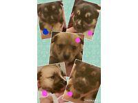 Husky x puppies