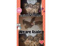 4 Lovely Lharkie Puppies for sale
