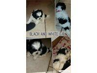 Beautiful KC Reg Shih Tzu puppies (1 male; 2 female)