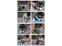 Malamute x husky puppies