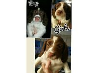 lovely kc registered liver and white springer spaniel puppies pups