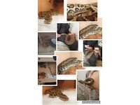 Female Burmese Python + Full Set Up