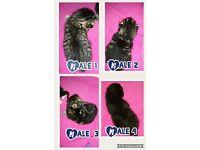 4 beutiful male kittens for sale ready on 9/ 8/17