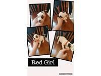 Jackrussle x beagle pups