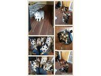 Alaskan malamute x husky puppies