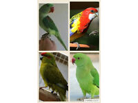 Alexandrien parrot ringneck parrot rosella kakerki cockatiel