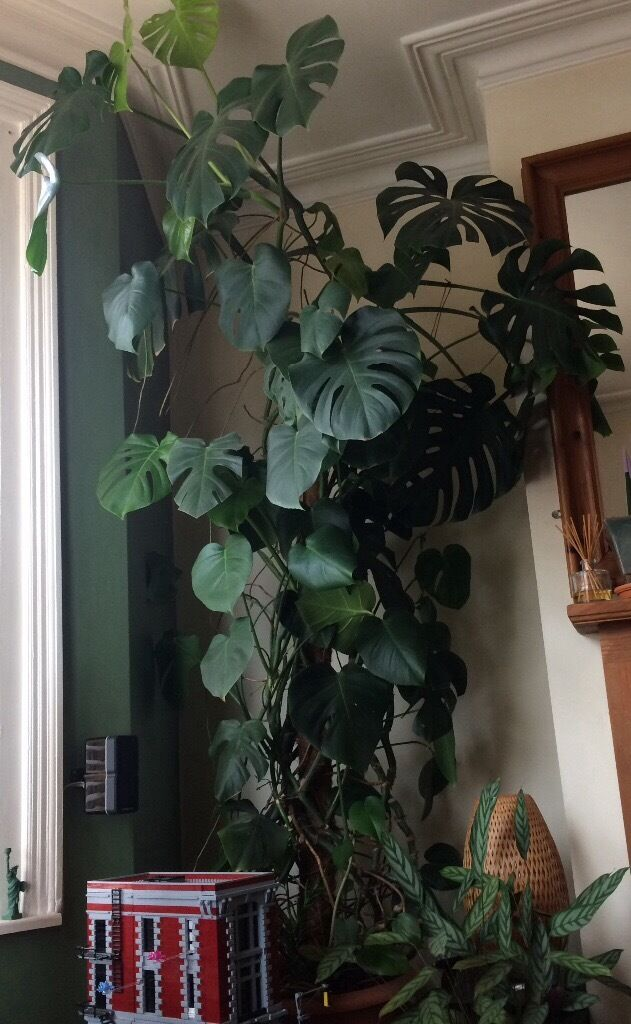 very large monstera deliciosa in southville bristol gumtree. Black Bedroom Furniture Sets. Home Design Ideas