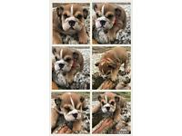 CHAMPION UK KC REGISTERED BULLDOGS - REDUCED TO SELL - HALF PRICE