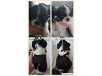 Jatzu pups