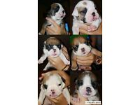 3 british bulldog males for sale
