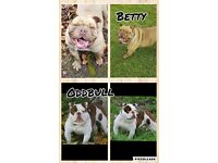 Stunning Old Tyme Bulldog puppies for sale
