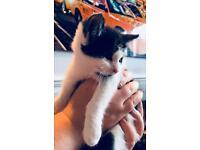 Black & white kitten available